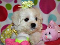 Plaything and Teacup Malti-poo Puppies. They will
