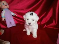 Maltipoo Puppies First Generation Males and