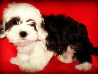 Lovable Maltese/teacup Poodle mix young puppies are all
