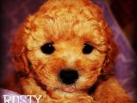 Cute Maltese/teacup Poodle mix young puppies are
