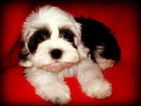 Lovable Maltese/teacup Poodle mix young puppies are