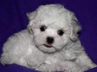 Absolutely beautiful Maltese/Poodle mix puppies