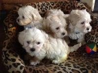 Dad is full Maltese and Mom is Maltipoo- So the puppies