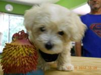 Hi, this is a little maltipoo that lives in crestview