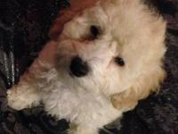We are looking for a loving home for our male Maltipoo