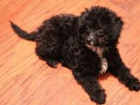 Female Maltipoo Puppy for Sale She is a 12-week old mix