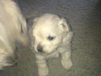 4 week old malti poo puppy for sale. He is