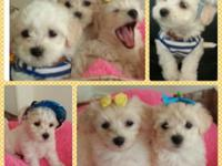 8 weeks old Maltipoo boys are looking for a sweet home.
