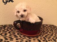 White Maltipoo puppy asking 500 obo has been dewormed