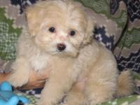 Maltipoo puppy, male. Mom is purebred Maltese, Dad is