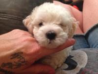 Male Maltese/poodle puppy he's 6 weeks old and will be