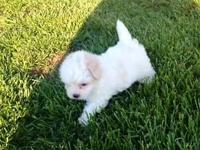 Maltipoo Pups !!! Cooper and Mia are the happy moms and