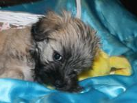 Scoobi is a Maltipoo puppy. He is a very playful and