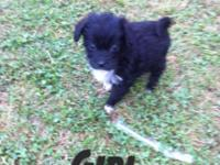 Apricot male & black female 7 weeks old toy poodle mix