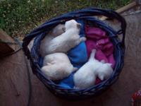 MaltiPoo Pups; ICA reg.,small-about 7-8 lbs. as adults.