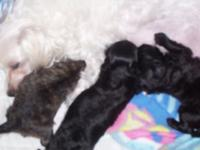 Too cute...two little black male pups. Ready to go..1st