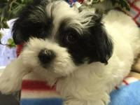 Maltipoo pups...7 weeks old....Both are black & white