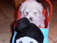 Maltipoo pups...9 weeks old....Both are black & white