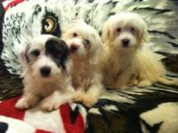 Lovable MaltiPoo puppies prepared for a brand-new