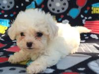 Have 1 female and 4 male maltipoo's. Girl is black and
