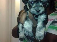 I HAVE SIX LITTLE PUPPIES FOR SALE 1 GIRL AND 4
