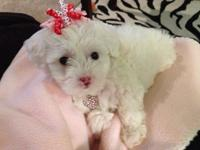 I have a lovable loving Maltipoo searching for her