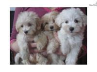 Lovable slightly maltese and poodle mix puppies, a.k.a.