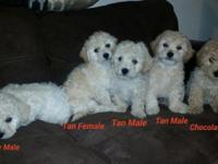 $575 - Tan Female $500 (each) - 2 Tan Males,1 White