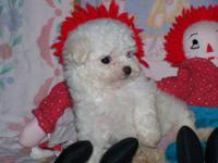 These are very sweet and loving maltipoo puppies