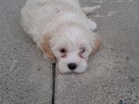 I have 2 Male Maltipoo puppies left born June 14 will