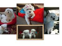 Lovable Maltipoo Pups Ready soon! 2 children, 1st shots
