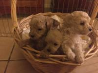 ADORABLE MALTIPOO (Maltese and poodle) PUPPIES Our