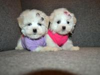8 week old maltipoo females. super small and cute like