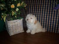 CKC Maltipoo Male dogs, 1 white, 1 snow white, 1