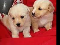 Playful maltipoo puppy girls, 2 months old, vaccinated,