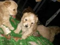 Pups males and females $650  This ad was posted with