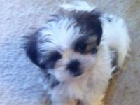 A male ShihTzu and Maltese mix designer  puppy for