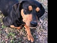 Mama's story Young Manchester Terrier mix Foster Mom