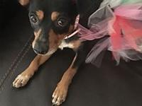 Mamacita's story Name: Mamacita Breed: Min Pin mix Age: