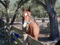 Mambo is available as a COMPANION HORSE ONLY, and is