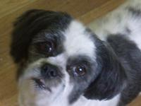 I am a very sweet, 6 yr old, 16 lb black and white Shih
