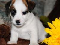 male and female jack Russel puppy have taken updates of