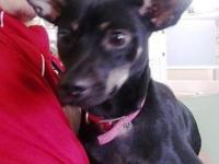 Manchester Terrier - Fonzi - Medium - Young - Male -