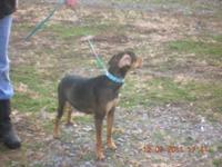 Manchester Terrier - Maggie - Small - Adult - Female -