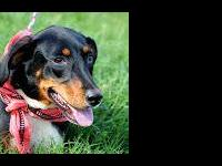 Manchester Terrier - Mayberry - Medium - Young - Female