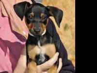 Manchester Terrier - Nini - Small - Adult - Female -
