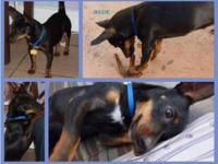 Manchester Terrier - Oreo - Medium - Adult - Male -