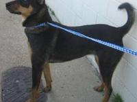 Manchester Terrier - Tansy - Medium - Adult - Female -