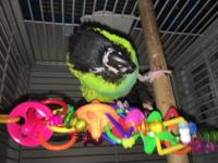 Mandoah is a Nanday Conure who is semi tame and needs a