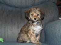 Mandy is a CKC registered female toy-miniature